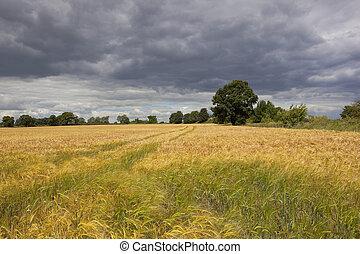 stormy skies over barley crop