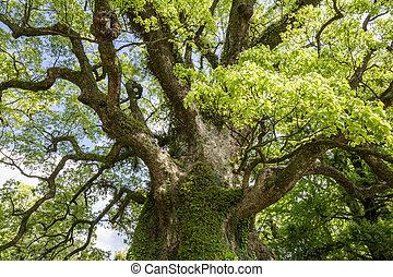 stort, kamfer, träd