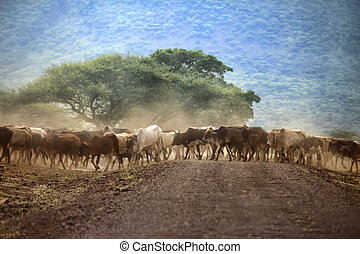 stort, kor, kenya, flock