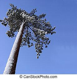 stort træ, fyrre