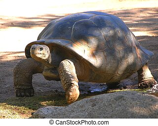 Stout fellow - A rather handsome giant tortoise