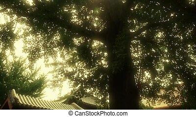 stout rough ginkgo tree trunks