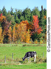 Stowe Countryside view - Cow at countryside in Stowe with...