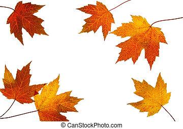 strödd, höst lönn leaves, vita, bakgrund