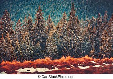 Straight rows of pine trees. Carpathians. Ukraine.