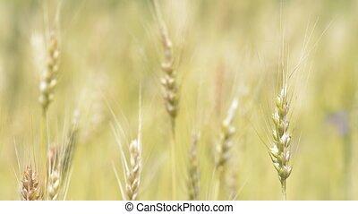 Straight wheat plant