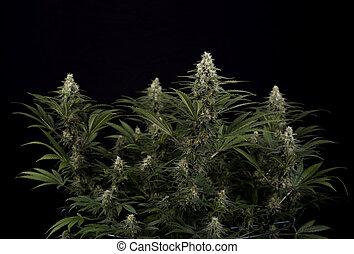 strain), bladeren, trichomes, marihuana, (black, cannabis,...
