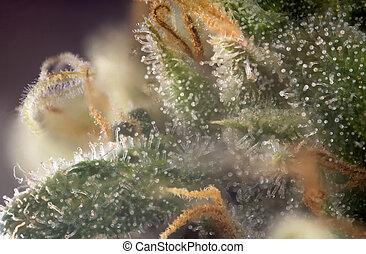 strain), cannabis, macro, trichomes, marijuana, detalhe, visível, pretas, broto, (russian