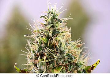 strain), cannabis, (sour, trichomes, diesel, marijuana, tard, visible, fleurir, kola, étape