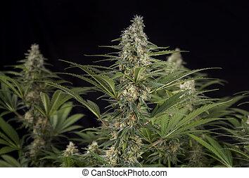 strain), feuilles, trichomes, marijuana, (black, cannabis, russe, fleurir, kola, étape