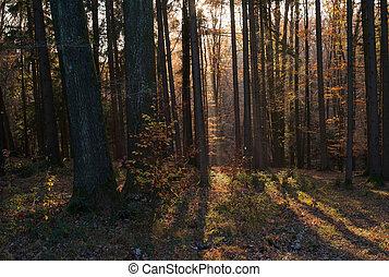 stralen, forest:, licht, bomen, bladeren, herfst, sinaasappel