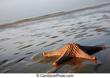 Stranded Starfish - Live starfish; bycatch of net fishing in...