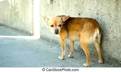 strange and amusing toy terrier with a deformed jaw on the...
