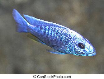 strange blue colored fish swim in the tropical seas 2