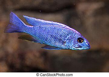 blue colored fish swim in the warm tropical seas 1