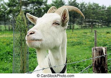 Stange looking goat
