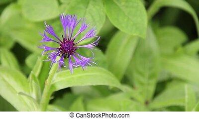 Strange Purple Flower - Strange purple flower swaying...
