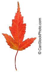 Strange Red Maple Leaf