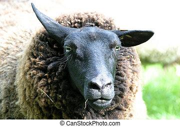 Strange sheep - Very strange sheep