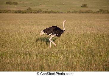 strauß, gehen, auf, savanne, in, afrika., safari., kenia