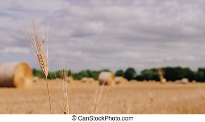 Straw steams in foreground. Bales of hay in a meadow. Bales...