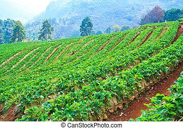 strawberries farm at Chiangmai Thailand