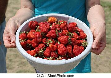 Freshly picked strawberries - Strawberries / Freshly picked...