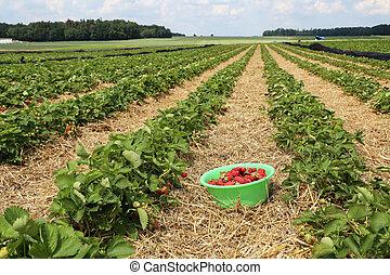 Strawberries / Freshly picked strawberries