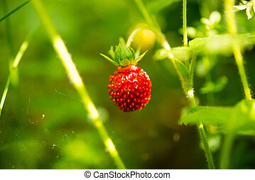 strawberries growing in the forest
