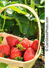 strawberries harvested from the strawberry plants