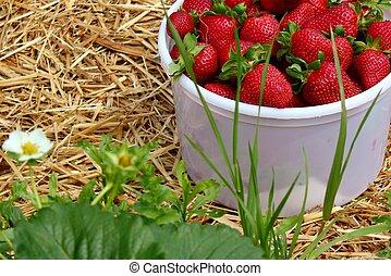 Strawberries in a bucket -2