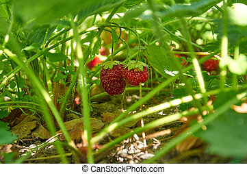 Strawberries in evening light