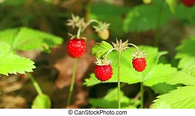 strawberries in the woods