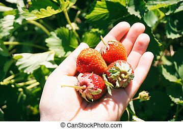 Strawberries on a hand