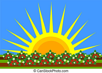 Strawberries shrubs growing - Strawberry field and big...