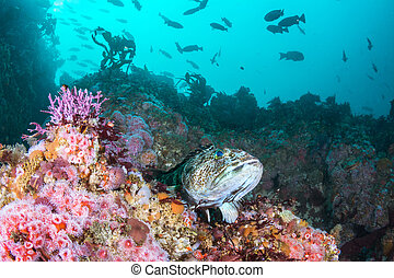 Strawberry Anemones and Lingcod on California Reef