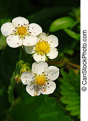 Strawberry blooms - Three small strawberry blooms in the...