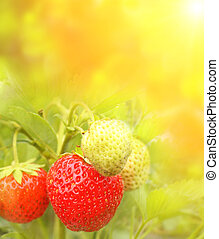 Bright ripe berrys of a strawberry
