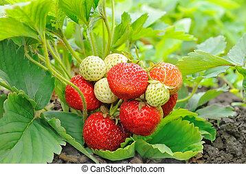Strawberry bush growing in the garden