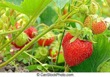 Strawberry bush in the garden - Strawberry bush growing in...