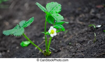 strawberry bush with flower on the garden bed sway from the ...
