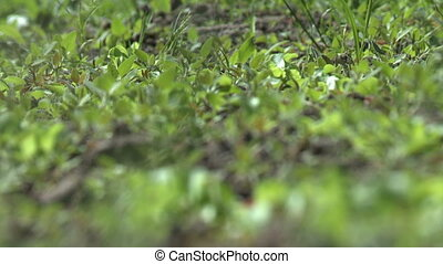 Strawberry bushes bed in windy weather video - Flowering...