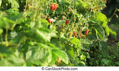 Strawberry bushes with berries