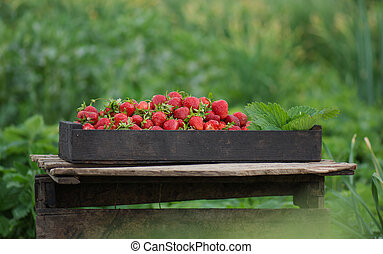Strawberry farm box in the garden. Boxes of strawberries