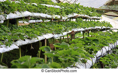 Strawberry Farm - Rows and stacks of strawberry plants in a...