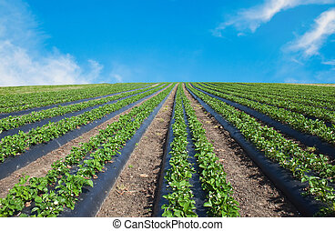 Strawberry field illuminated by the