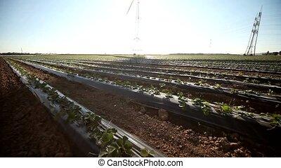 Strawberry field, Wind Engine, Shadow