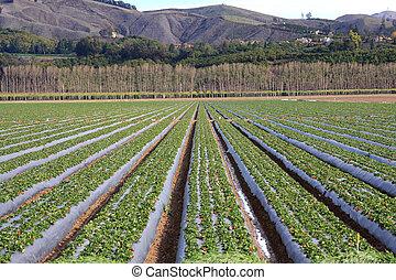 Strawberry Fields - Strawberries grow on a farm in Ventura...