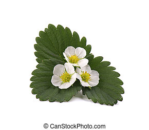 Strawberry flower and leaves isolated on white background.