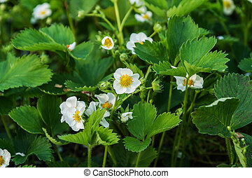 Strawberry flowers on the field grow on a sunny day